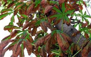 Болезни каштановых деревьев