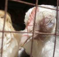 Куриная слепота болезнь у куриц