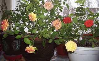Чайная роза комнатная