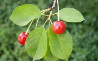 Листья вишни лечебные свойства