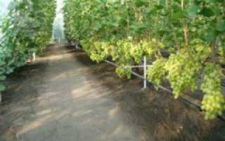 Как выращивать виноград в теплице