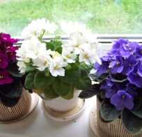 Чем поливать фиалки чтобы цвели