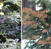 Болезни хвойных деревьев и их лечение фото