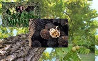 Канадский орех плоды