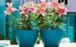 Домашние комнатные лилии