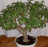 Как пересадить денежное дерево в другой горшок