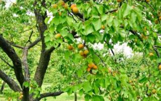 Обрезка абрикоса весной видео