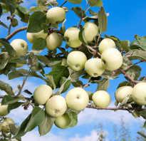 Фото яблок разных сортов