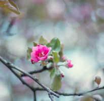 Яблоневый сад в цвету фото