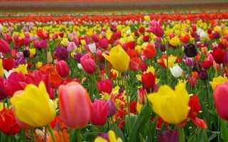 Информация о тюльпанах