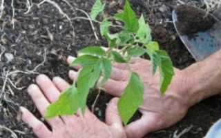 Все о томатах выращивание