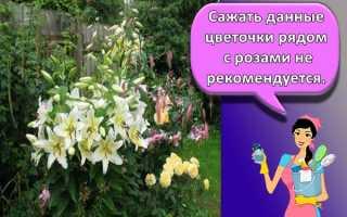Лилии и тюльпаны можно ли сажать рядом