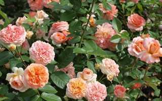 Роза чиппендейл энциклопедия роз