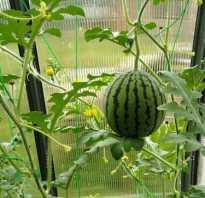 Как вырастить арбуз в теплице из поликарбоната