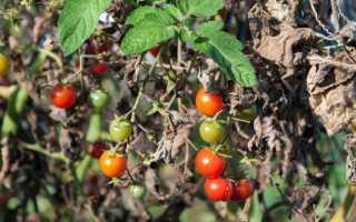 Обработка помидор от фитофторы в теплице