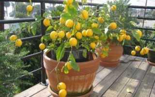 Как привить лимон выращенный из косточки