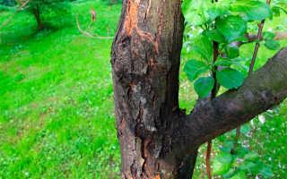 Болезнь деревьев черный рак
