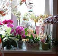 Орхидея пересадка и уход в домашних условиях