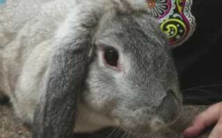 Кролики болезнь глаз