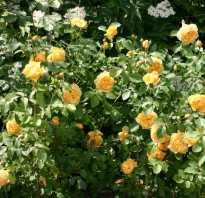 Роза грэхем томас энциклопедия роз