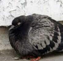 Болезни и лечение домашних голубей