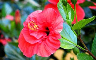 Китайская роза комнатная фото