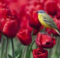Где растут тюльпаны