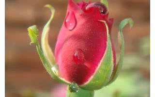 Роза описание растения