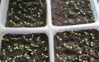 Гвоздика травянка многолетняя посадка и уход
