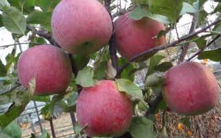 Яблоко фуджи фото