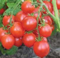 Самые ранние томаты для теплиц