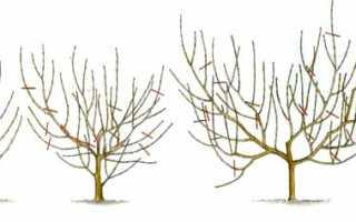 Как правильно обрезать персик осенью видео