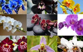 Где растет орхидея