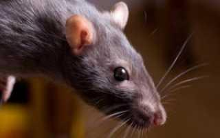 Черный корень растение от крыс и мышей