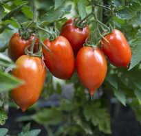 Примадонна томат описание