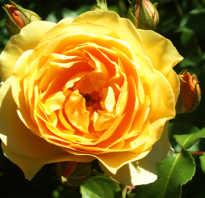 Роза грехам томас фото и описание