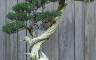 Бонсай дерево как вырастить из семян