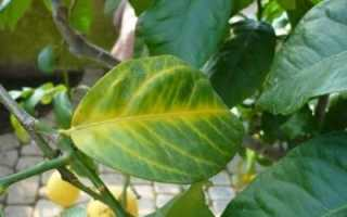 Болезни лимона фото и описание