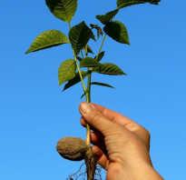 Посадка ореха из плода