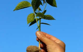 Грецкий орех из семян вырастить