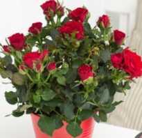 Роза в горшке уход в домашних