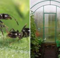 Чем обработать землю от муравьев в теплице