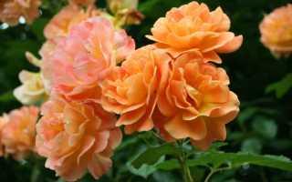 Роза вестерленд фото и описание