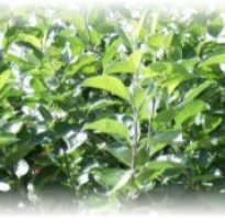 Чай из веточек груши