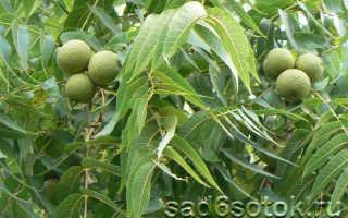 Технология выращивания грецкого ореха