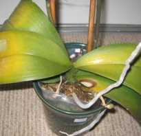 Орхидеи и их болезни как лечить