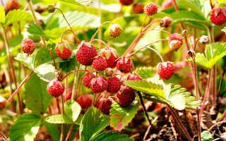 Земляника фото ягода