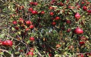 Джонатан яблоки фото