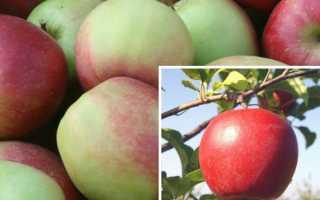 Яблоки лиголь где выращены