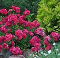 Роза фейри энциклопедия роз